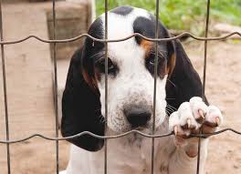 bluetick coonhound lab mix puppies for sale treeing walker coonhound dog breed information pictures