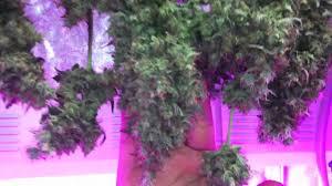 growing autoflower with led lights autoflower marijuana under led grow lights northern light x big bud