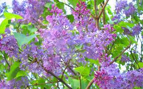 lilac tree leaves wallpaper