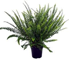 best plants for air quality top indoor plants best air filters for homekimberley queen fern