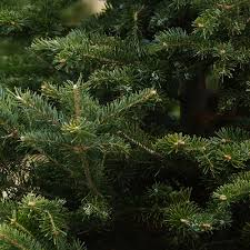 real christmas trees stirling free delivery pre order