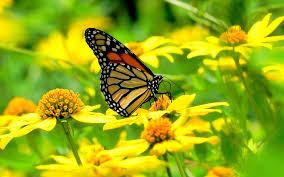 butterfly flowers monarch butterfly flowers wallpaper 1920x1200 13801