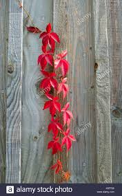 wooden leaves wall climbing plant with leaves in autumn on a wooden wall