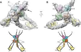 structure of a holliday junction complex reveals mechanisms