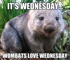 Meme Wednesday - it s wednesday wombats love wednesday wombat wednesday quickmeme