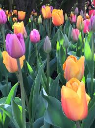 Skagit Valley Tulip Festival Bloom Map Moments Of Delight Anne Reeves Tulips In The Valley A Day Trip