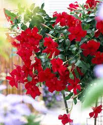 buy a container plant now chilean jasmine u0027sundaville u0027 bakker com