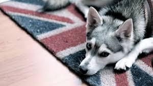 beautiful husky dog sleepy hd quality desktop background wallpaper
