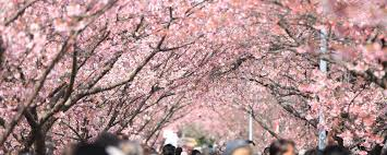 Cherry Blossom Facts by Teneo Blue Rubicon Global Corporate Reputation Management