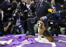 thanksgiving day dog show a rare victory for beaglekind at westminster dog show the
