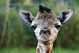 giraffe perth zoo