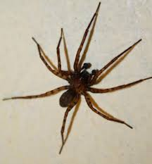 Male Spider Anatomy Spiders At Spiderzrule The Best Site In The World About Spiders