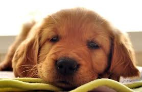 Comfort Retriever Puppies For Sale My Dog Breeders Dog Breeder Listings For Every Dog Breed
