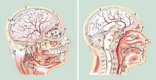 Human Jaw Bone Anatomy At The Age Of 12 The Human Brain Stops Growing By Reilly Mahoney