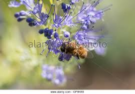 Bluebeard Flower - caryopteris clandonensis blue mist stock photos u0026 caryopteris