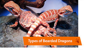 bearded dragon breeders canada red bearded dragons sale