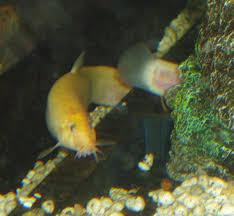 pond loach fish modern farming methods