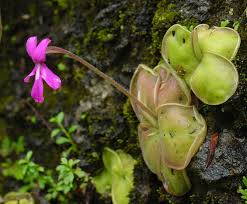 examples of native plants pinguicula wikipedia