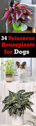 34 poisonous houseplants for dogs and cats houseplants