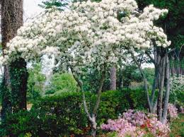 166 best garden trees images on pinterest garden trees front