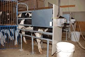 Calf Raising Barns What We Learned From An Automatic Calf Feeder