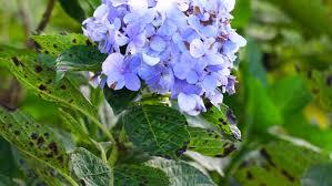 Purple Hydrangea The Purple Hydrangea On A Green Background Large Shrub With
