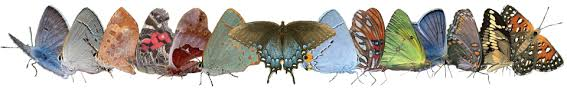 butterflies and moths of america collecting and