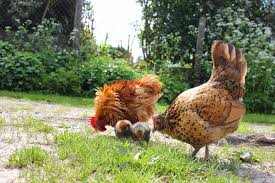 Backyard Chickens Magazine by The Holistic Hen How To Raise Quail Chickens And Pigeons