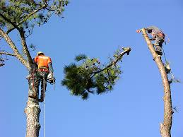 tree trimming and tree removal in columbia sc alfonza s lawn service