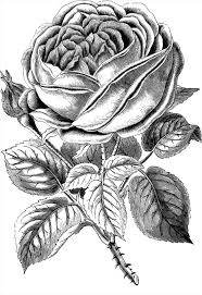 white rose drawing png page printable coloring sheets for the x