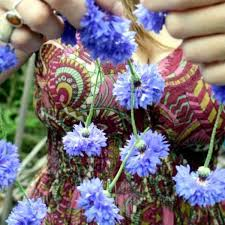 cornflower blue centaurea cynus cornflower blue higgledy garden