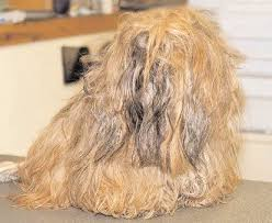pictures of shorkie dogs with long hair matted hair on your dog making your dog look great again
