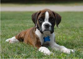 boxer types of boxer dog archives boxer dog info and health tips