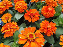 easiest flowers to grow from seeds