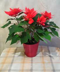 Indoor Flowering Plants by Flores Amarilis Christmas Flowerswinter Flowersunique
