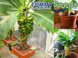 banana seeds no gmo bonsai fruit tree seeds for home garden