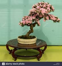 Rosa K He Kaufen Azalea Pot Stockfotos U0026 Azalea Pot Bilder Alamy