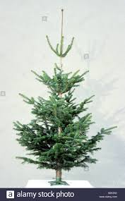 Nordmann Fir Christmas Tree Nj coniferous tree coniferae evergreen stock photos u0026 coniferous tree