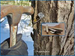 how to make maple syrup i choosing trees and getting sap