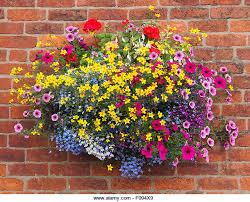hanging basket against a brick wall containing bidens geraniums