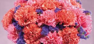 carnation flowers history and meaning of carnations proflowers