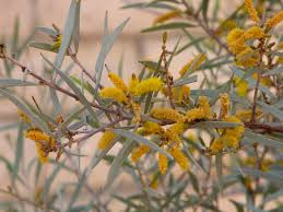 australian native water plants plant of the month acacia water use it wisely
