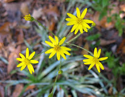 native maryland plants using georgia native plants goldenasters