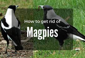 Magpie Birds In Backyards How To Get Rid Of Magpies In Garden My Gardening Network