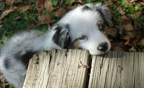 australian shepherd kidney disease annabel the australian shepherd puppies daily puppy