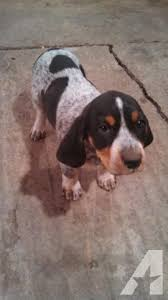 bluetick coonhound in florida bluetick hound puppies for sale in henderson minnesota classified