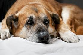 reasons why elderly dogs stop eating simply for dogs