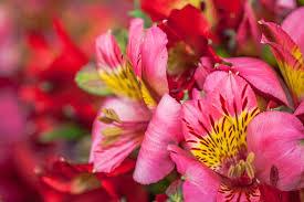 Alstroemeria Day Five About British Alstroemeria U2014 British Flowers Week