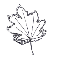 douglas maple acer glabrum pacific northwest native tree botany trees with tasha page 2