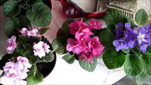 update on my beautiful african violet flower houseplants